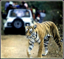 Corbett Tiger Safari