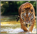 Indian Tiger Tours